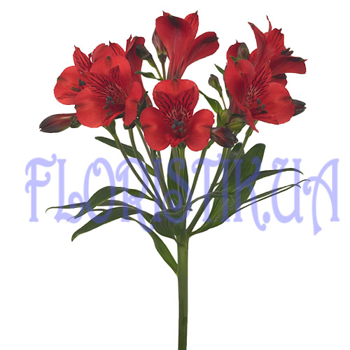 Alstroemeria scarlet piece ― Floristik — Shop online flower delivery all over Ukraine.