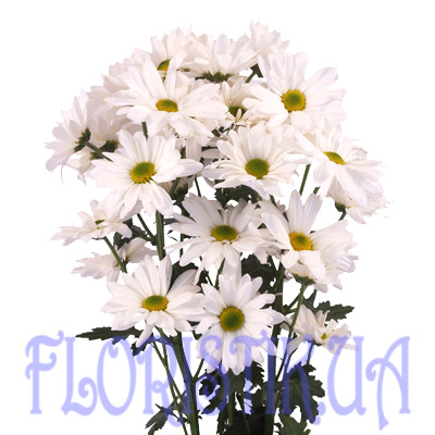 Chrysanthemum white piece ― Floristik — Shop online flower delivery all over Ukraine.