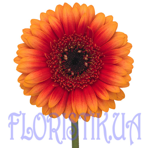 Gerber orange piece ― Floristik — Shop online flower delivery all over Ukraine.